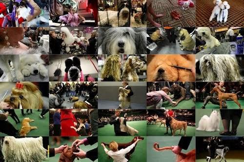 Banco De Imagenes 135th Westminster Kennel Club Dog Show En New York