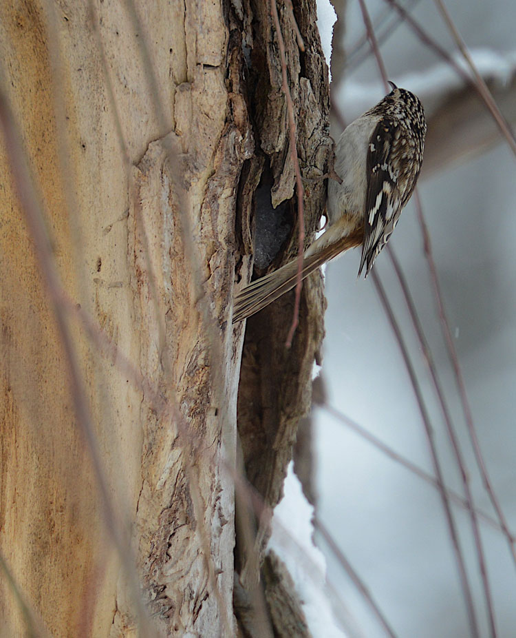 Brown Creeper (Certhia americana) using its tail as a prop.