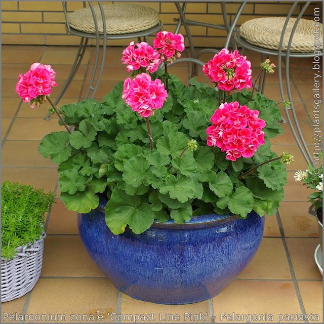 Pelargonium zonale 'Compact Line Pink' habit - Pelargonia pasiasta  'Compact Line Pink' pokrój