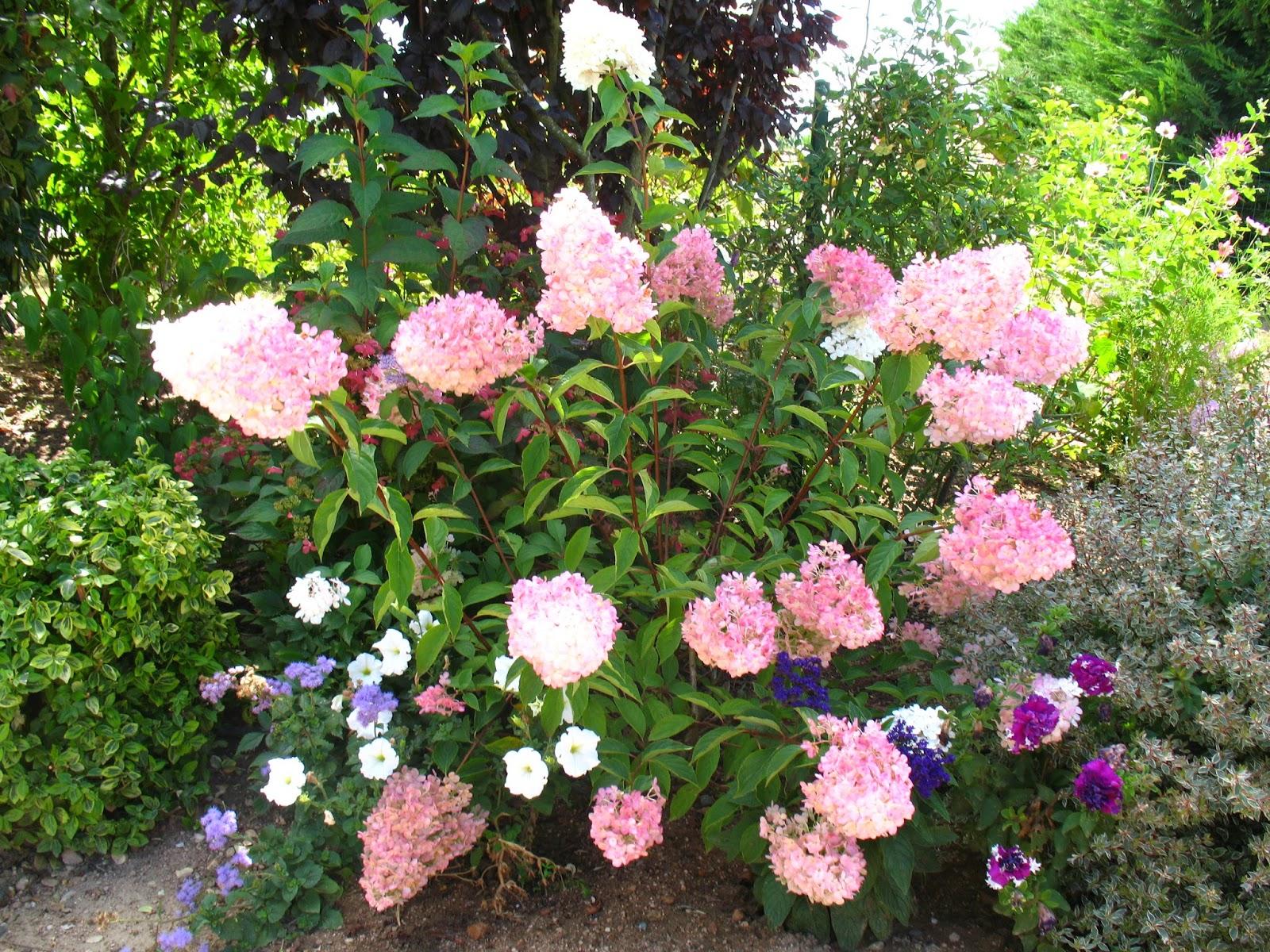 roses du jardin ch neland hydrang a paniculata vanille fraise. Black Bedroom Furniture Sets. Home Design Ideas