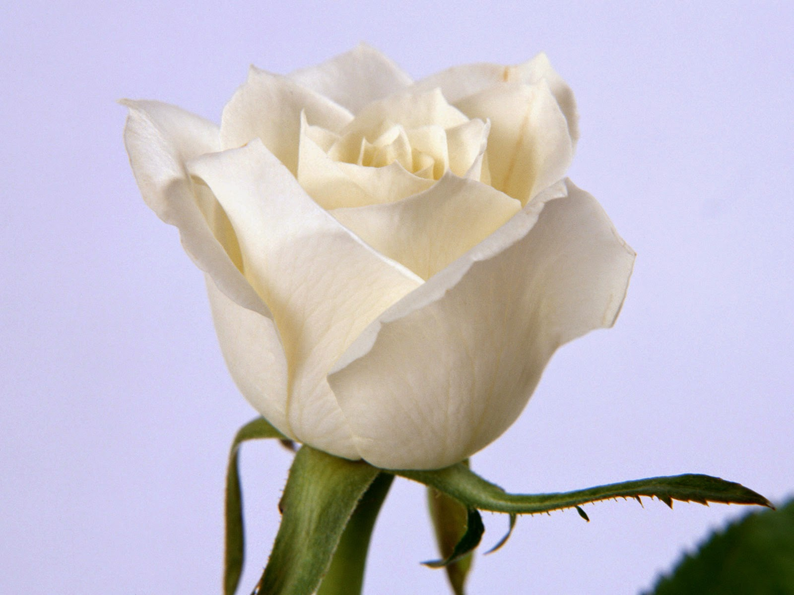 White Rose Valentine Day Special Gift