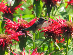 They love Bee Balm!