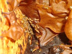 beleza de fóto abelhas Seminigra pernigra ?