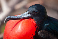 Galapagos Male Frigate Bird Displaying his red crest