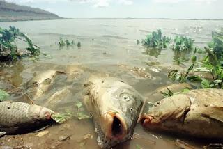 Peces envenenados en el Río Guadalquivir