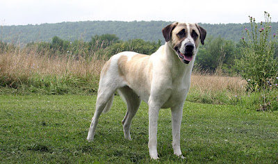 Anatolian-Shepherd-Personality