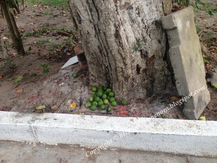 limau nipis dan colok bawah pokok