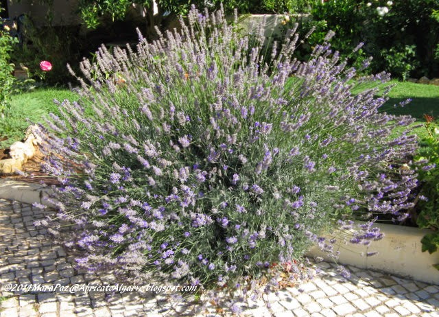my favourite lavender