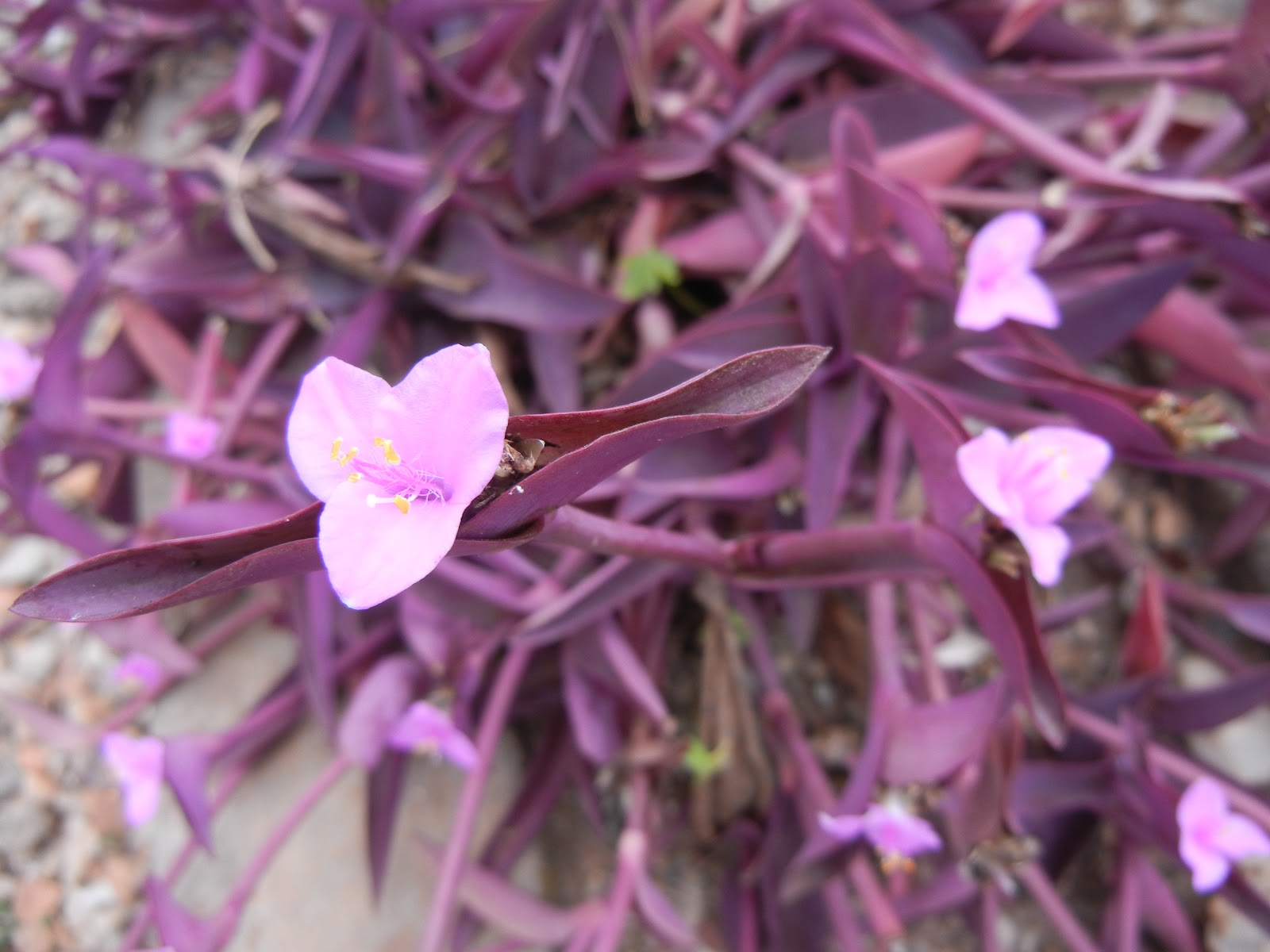 Yo ali my june faves this plant is used as a ground cover it has this little tiny pink flowers and bright purple leaves and stems mightylinksfo Gallery