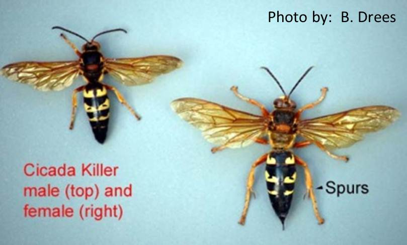 how to get rid of cicada killers