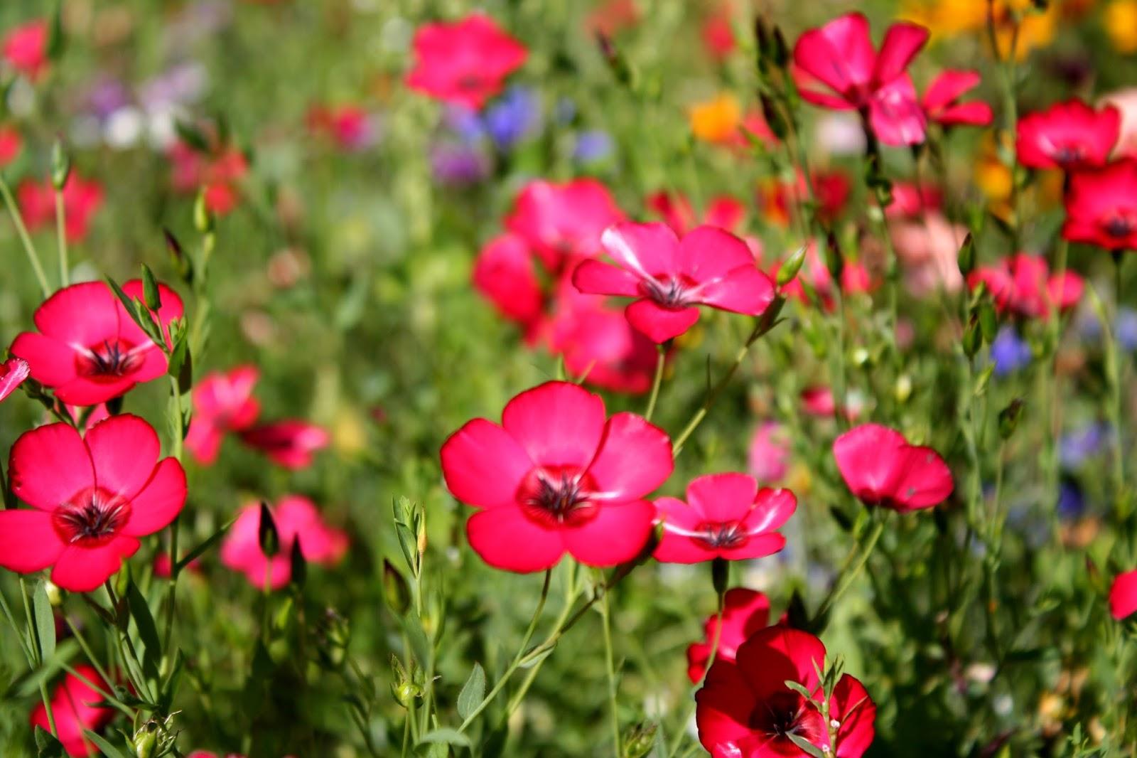 Bazarette planter un bouquet de fleurs - Fleur de jachere ...