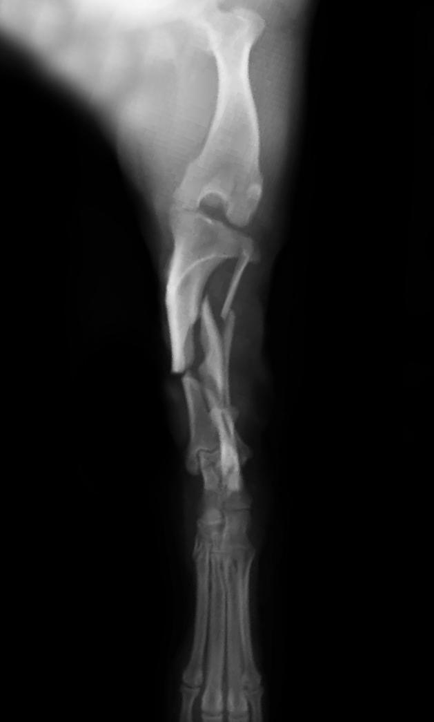 fractura tibia canino