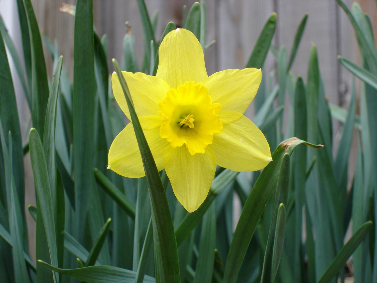 http://1.bp.blogspot.com/-hFGf_fUBB3Q/UIomJEdbLyI/AAAAAAAADZU/-QMmj4iQiHQ/s1600/Daffodil-Flower-Picture-1.jpg