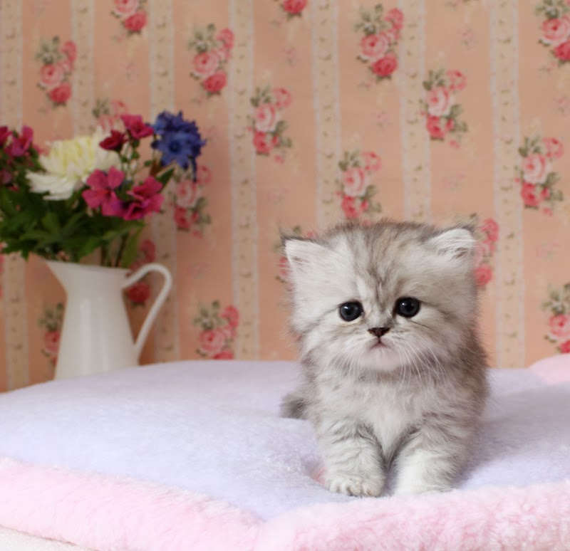 Kerrie\'s Cup of Tea: Teacup Kittens!!!!!
