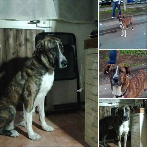 adozione cane taglia media grande Brescia