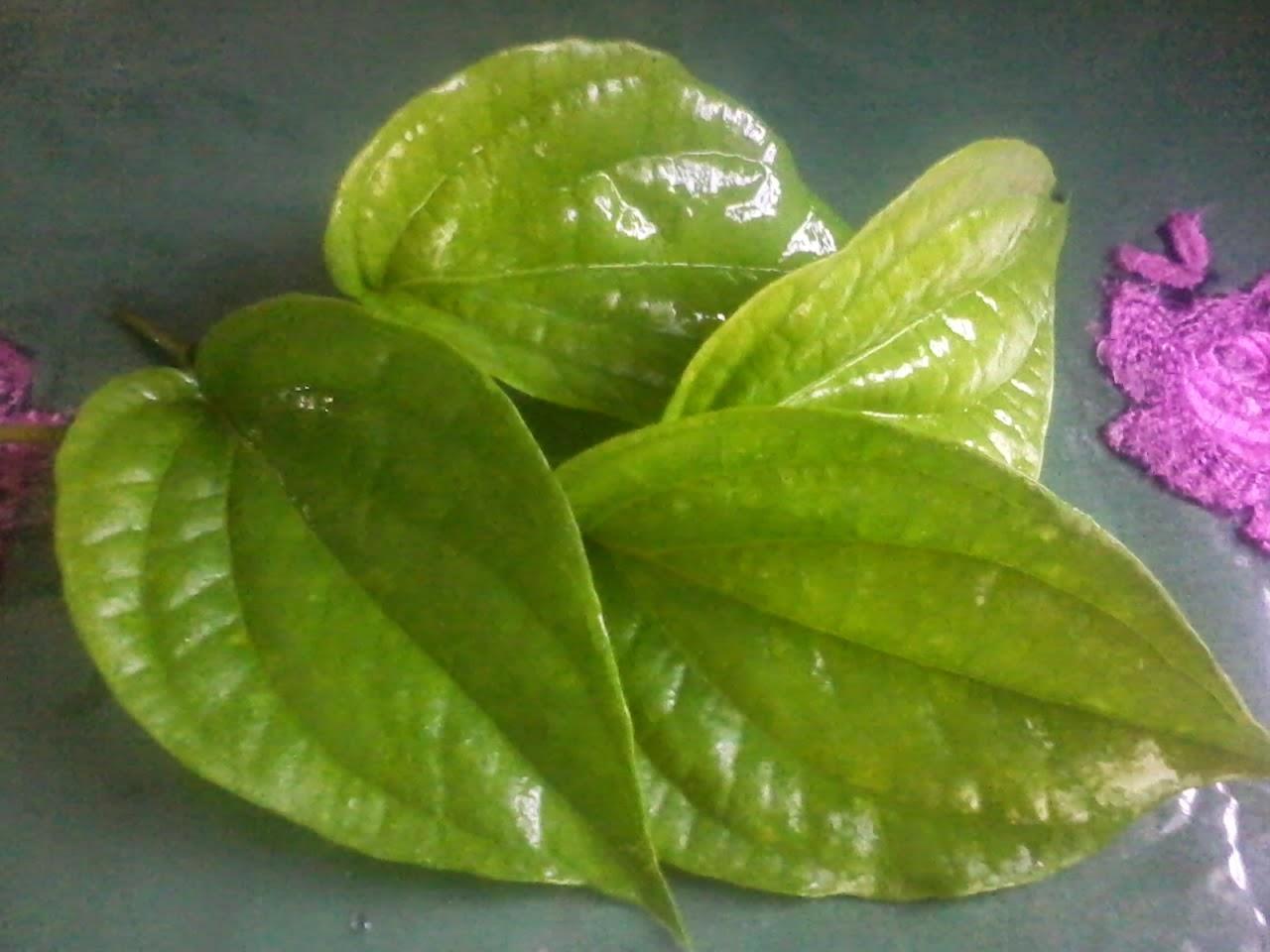 Manfaat dan khasiat daun sirih untuk obat tradisional