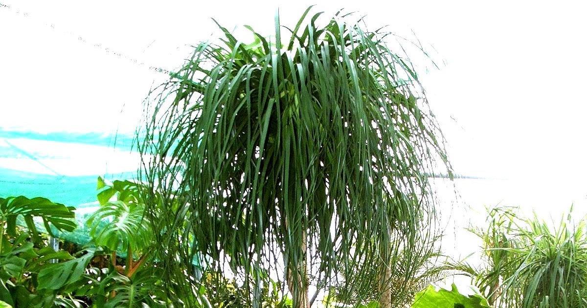 Arbuste beaucarn a flore de l le de la r union for Entretien jardin reunion