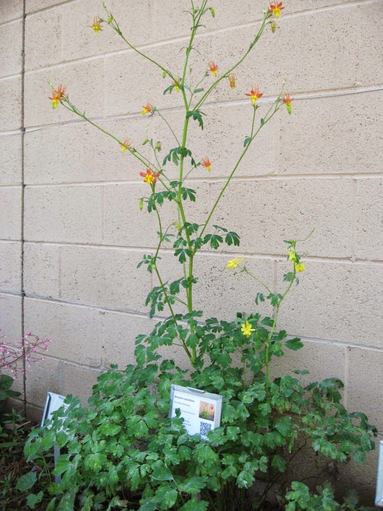 Mother natures backyard a water wise garden plant of the month an herbaceous perennial aquilegia formosa is 2 3 feet tall and about as wide drought deciduous it normally dies back in summer given water mightylinksfo