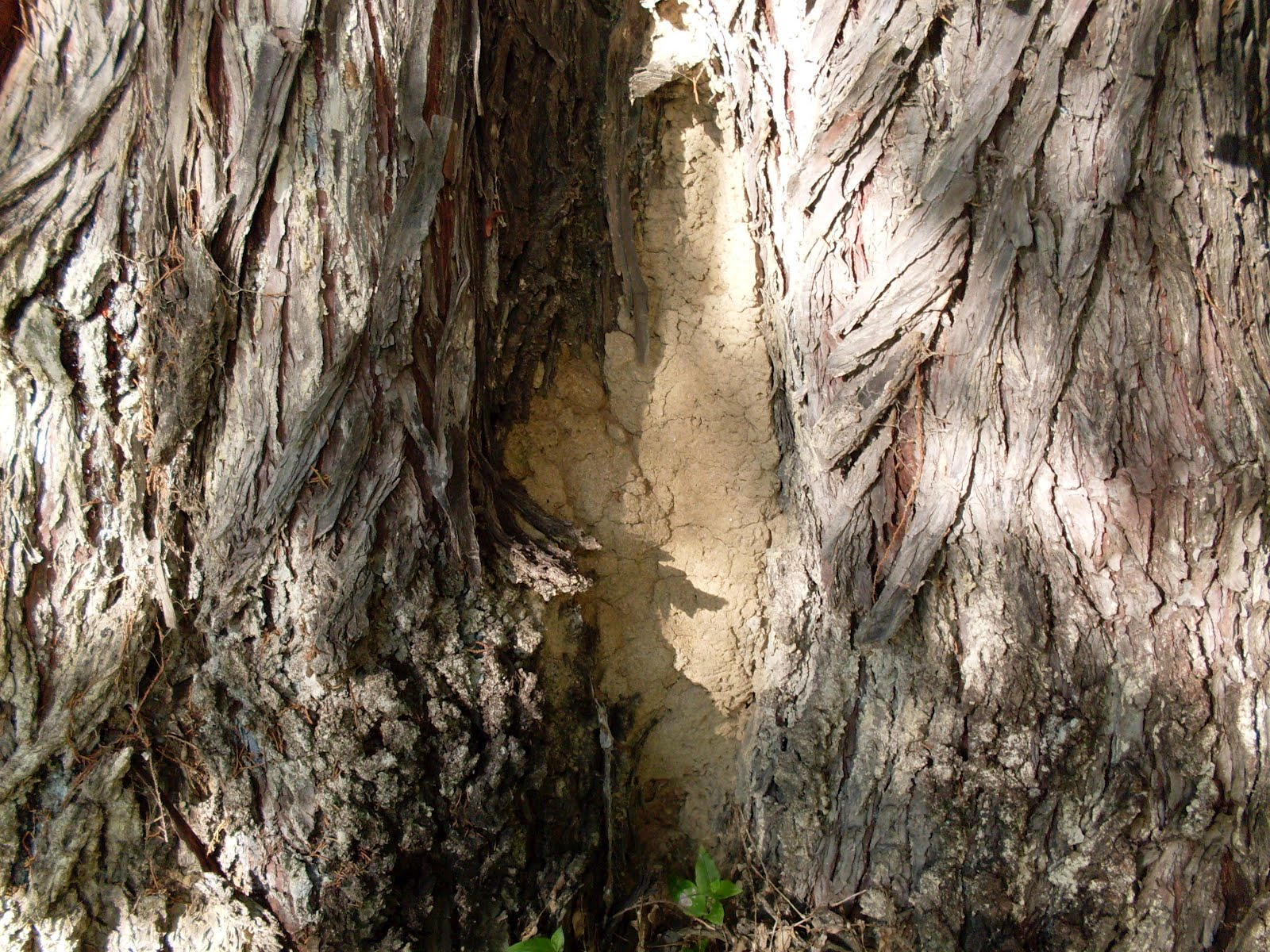 Termites In Tree Stump http://termitecontrolinsydney.blogspot.com/2012/04/termites-nesting-in-trees-stumps-and-in.html