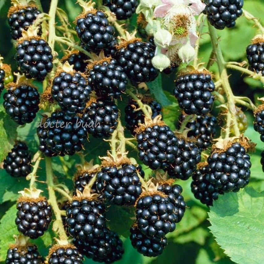 khasiat buah blackberry