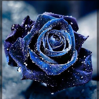Blue rose with waterdrops