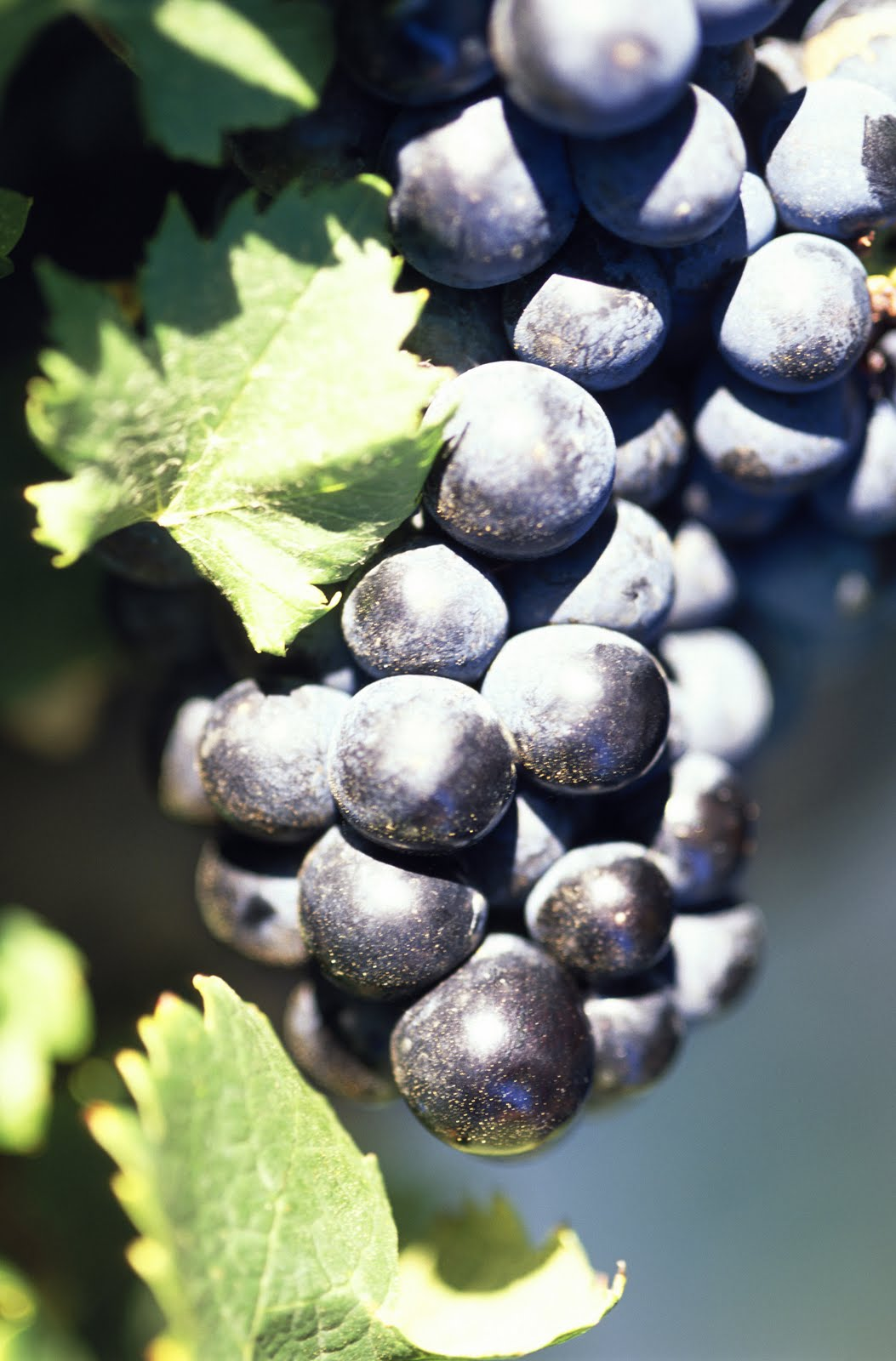 grapes wine hd wallpapers - photo #28