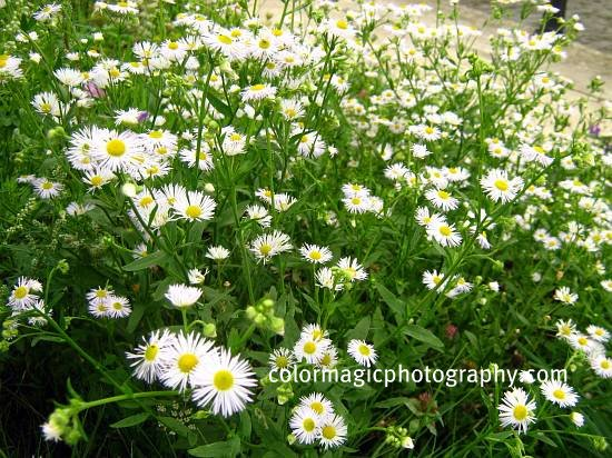 Erigeron daisy field
