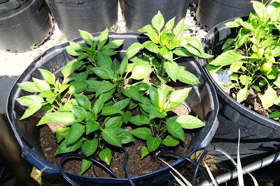 Camelot Sweet Bell Peppers