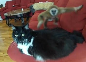 el mono molesta al gato pero no se altera y calmado
