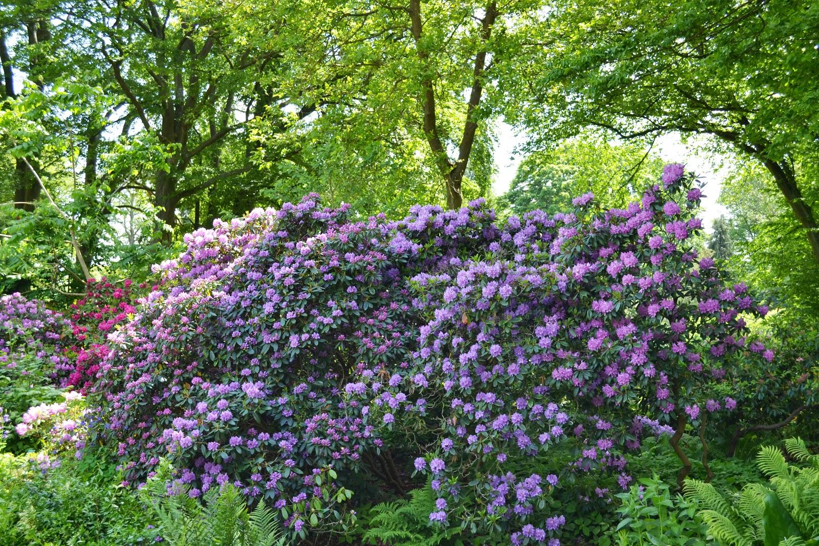 Violet Tree Jacaranda ,botanical garden,lund
