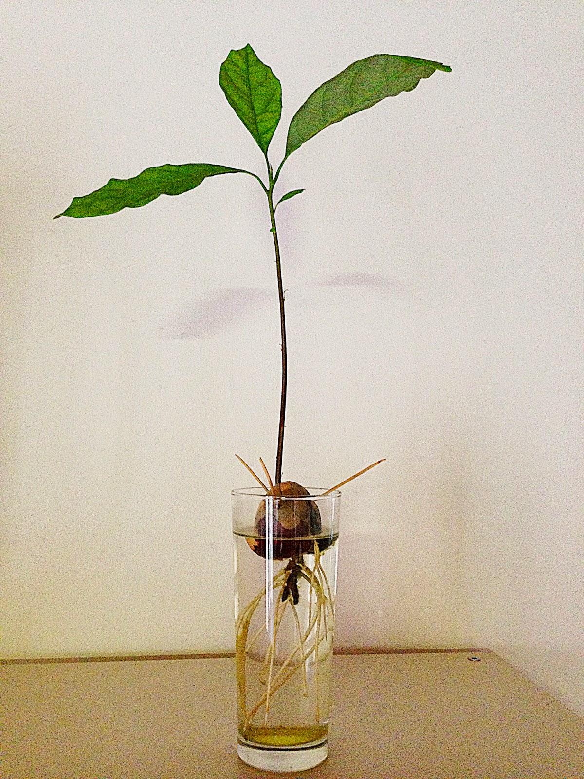 growing an avocado tree is super easy and very rewarding - Growing Avocado Trees
