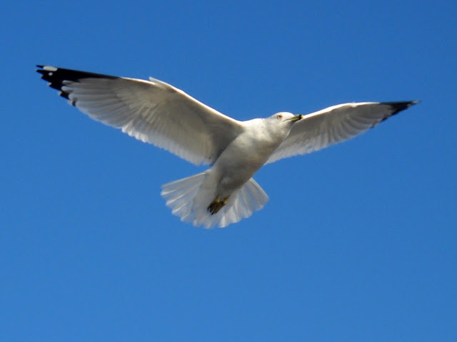 Larus delawarensis in flight over Sunset Bay, White Rock Lake, Dallas, TX
