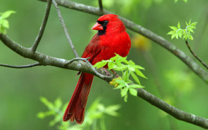 Cardinal - We are not in Tennessee anymore...