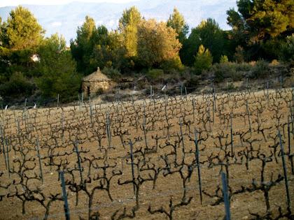 Una vinya en terres del mas Torrecabota, amb la barraca nº 5 al fons
