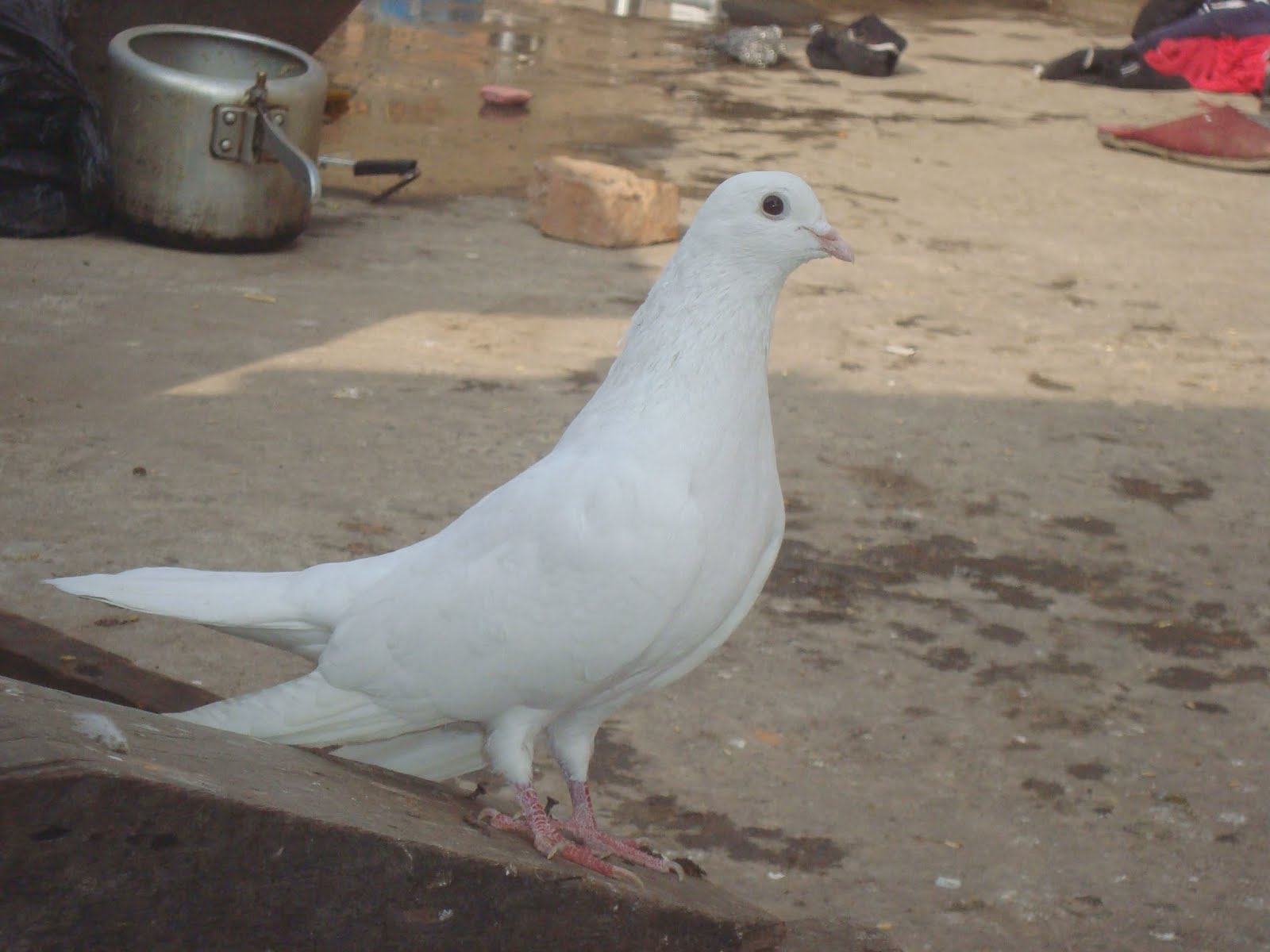 white pigeon Columbidae leach, 1820: subfamilies  dove frequently indicates a pigeon that is white or nearly white  homing pigeon list of columbidae species pigeon.