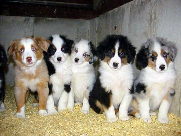 Australian Shepherd Puppies on September 2011   Puppy Photos   Puppies Pictures   Dog Breeds