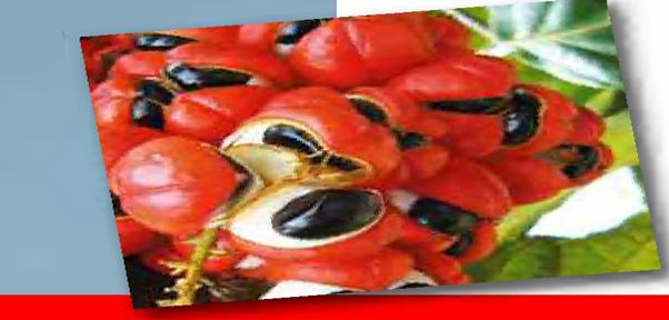 guarana pour la perte de poids