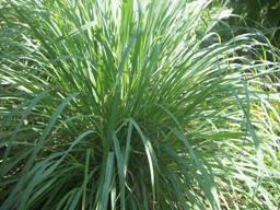 daun serai batang khasiat