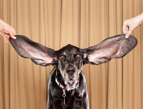 Anjing telinga terpanjang yang masih hidup