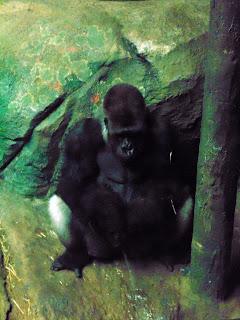 Silverback Gorillas Peeing