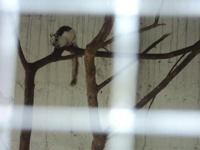 Sciurus variegatoides