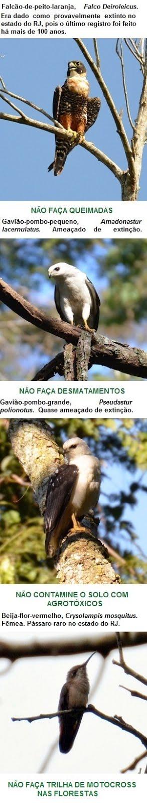 Pássaros raros observados em Miracema - parte I