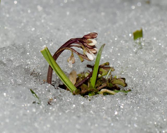 Bittercress poking through snow