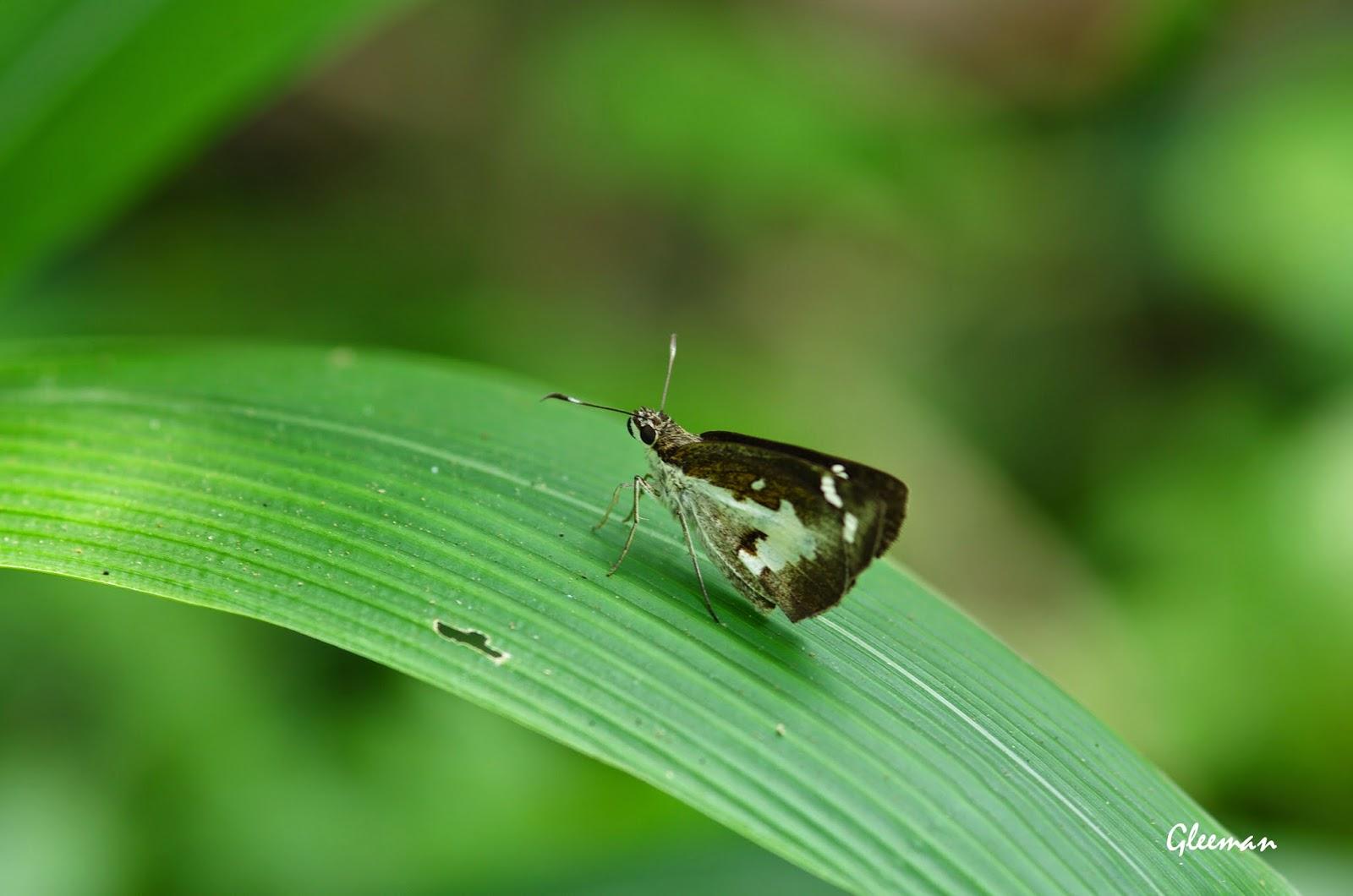 薑弄蝶於雞南山。