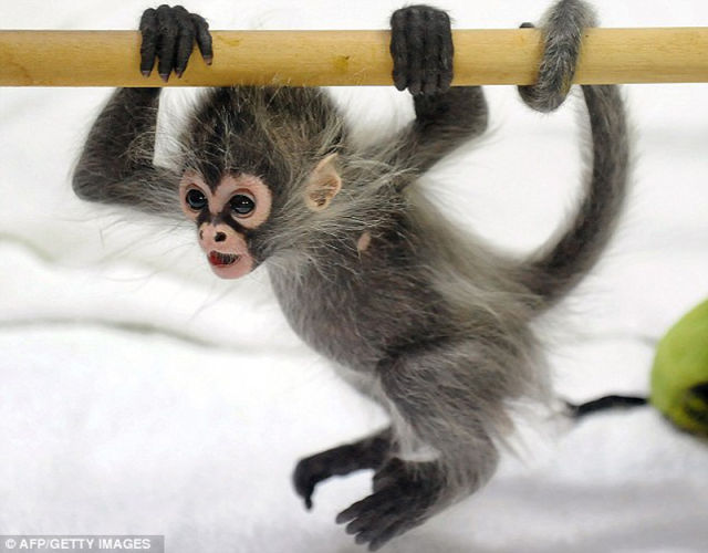 The Cutest Little Baby Monkey Seen On www.coolpicturegallery.us