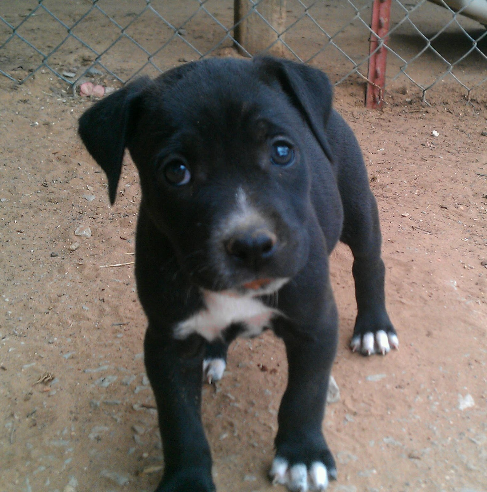 Cute Puppy Dogs Black And White Pitbull Puppies