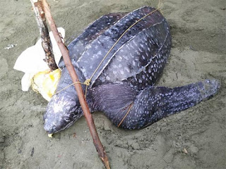 Leatherback sea turtle photos
