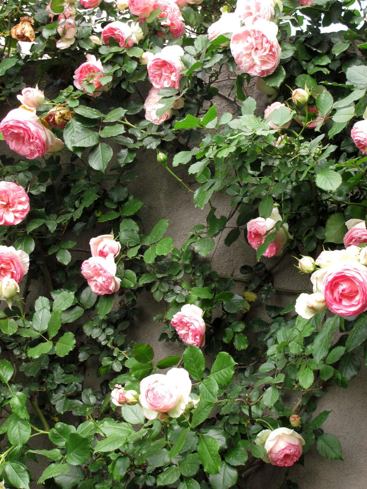 En el jardin tres rosas trepadoras for Pianta rosa