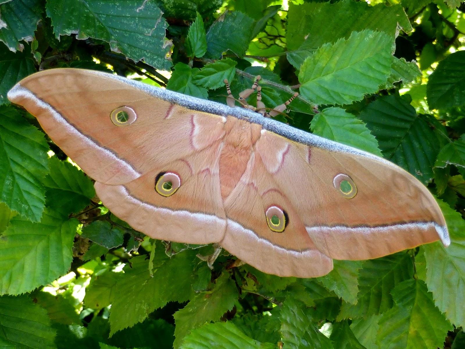 Antheraea pernyi female
