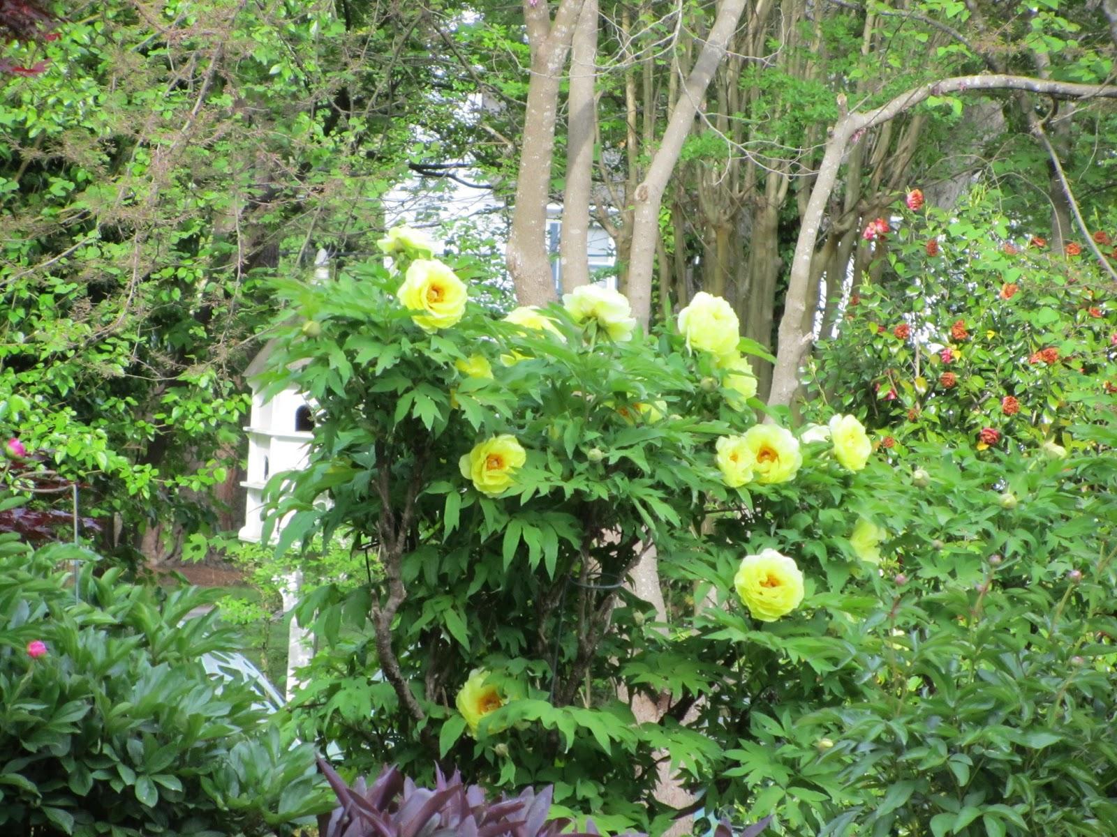 Southern peony 2013 beautiful yellow tree peony yellow tree peony mightylinksfo